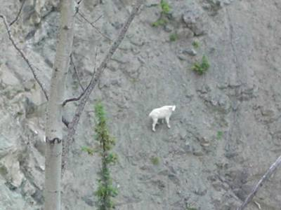 mountain_goat__01_640.jpg